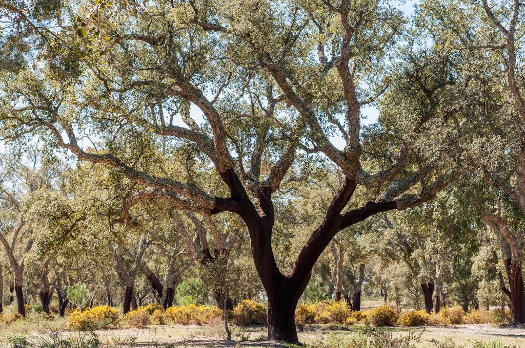 Cork oak HL8, the tree used for genome sequencing